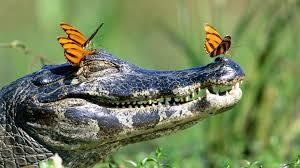 Buttflies and Gator
