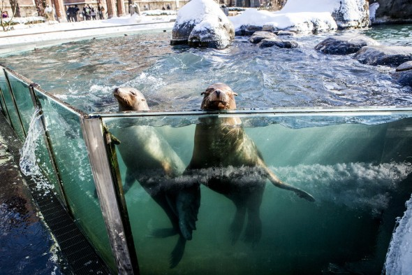 Sea lions enjoy the cold weather at the Central Park Zoo in Manhattan. PHOTO-ADRIENNE GRUNWALD FOR THE WALL STREET JOURNAL