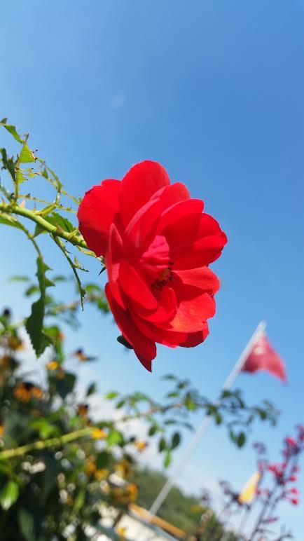 Red Rose 9-20-2015