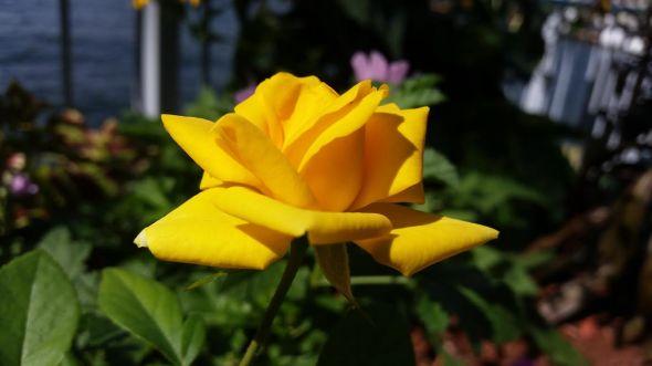 Yellow Rose 9-20-2015